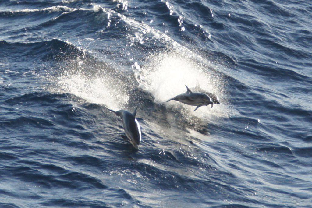 ピースボート71回クルーズ40日目:ジブラルタル海峡でイルカの大群
